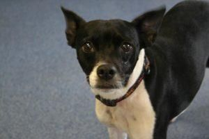 5 / 3    Petango.com – Meet Trixie, a Terrier, Boston / Mix available for adoption in Shelbyville, KY Address  40 N 7th Street, Shelbyville, KY, 40065  Phone  (502) 633-4033  Website  http://www.shelbycohumanesocie ty.com  Email  shelbysociety@insightbb.com