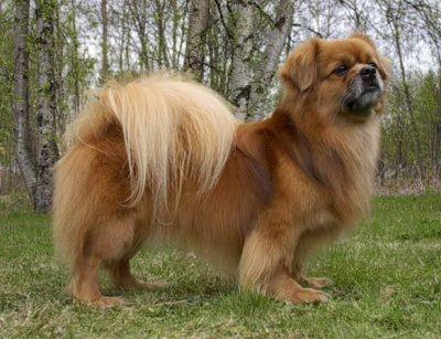Tibetan Spaniel Toyway Kap Ri Olli Tibetan Spaniel Pampered Dogs Spaniel Breeds