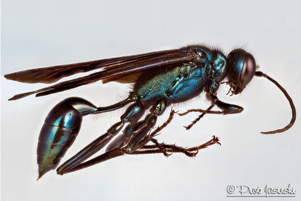 Blue Mud Dauber Wasp Wasp Blue Photo