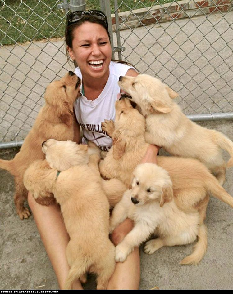 Golden Puppies Galore ::: Visit our poster store Rover99.com