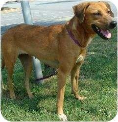 Redbone Coonhound Dog Photo Beagle Redbone Coonhound Mix Dog For