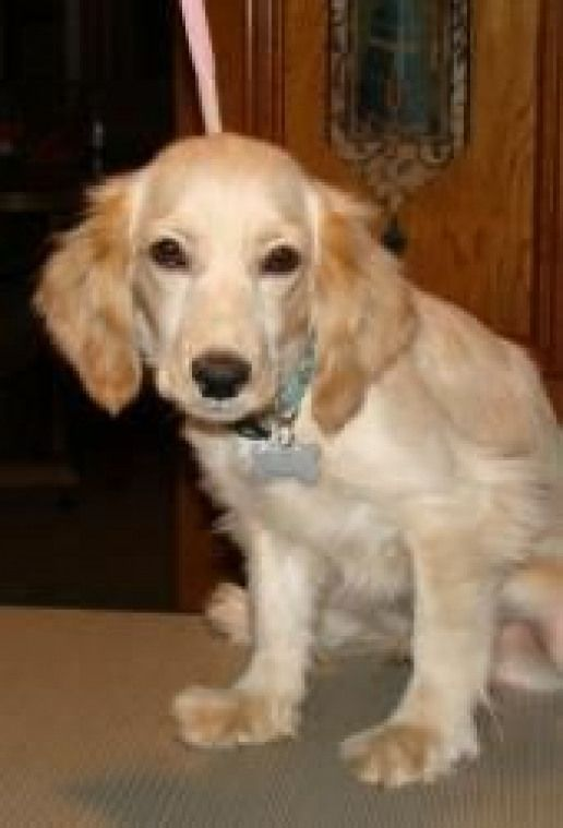 Jeremy is an adoptable CockerSpaniel Dog in