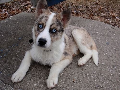Corgi Australian Shepherd Mix Google Search Corgi Australian