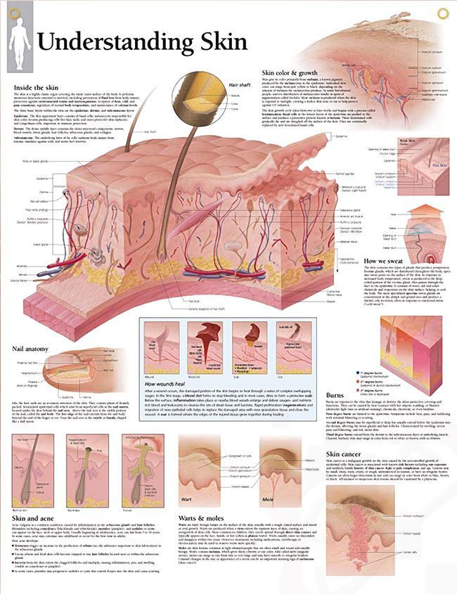Understanding Skin Anatomy Poster Depicts Hair Shaft Subcutaneous