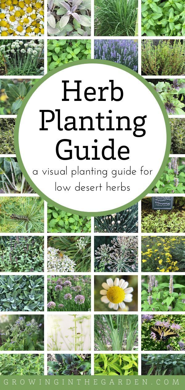 Arizona Herb Planting Guide A Visual Guide for Low Desert Herbs is part of Planting herbs, Herb garden design, Herbs, Herb garden, Gardening tips, Organic gardening - This Arizona Herb Planting Guide has pictures and planting dates for over 30 herbs that grow well in the low desert of Arizona  Pick one and give it a try