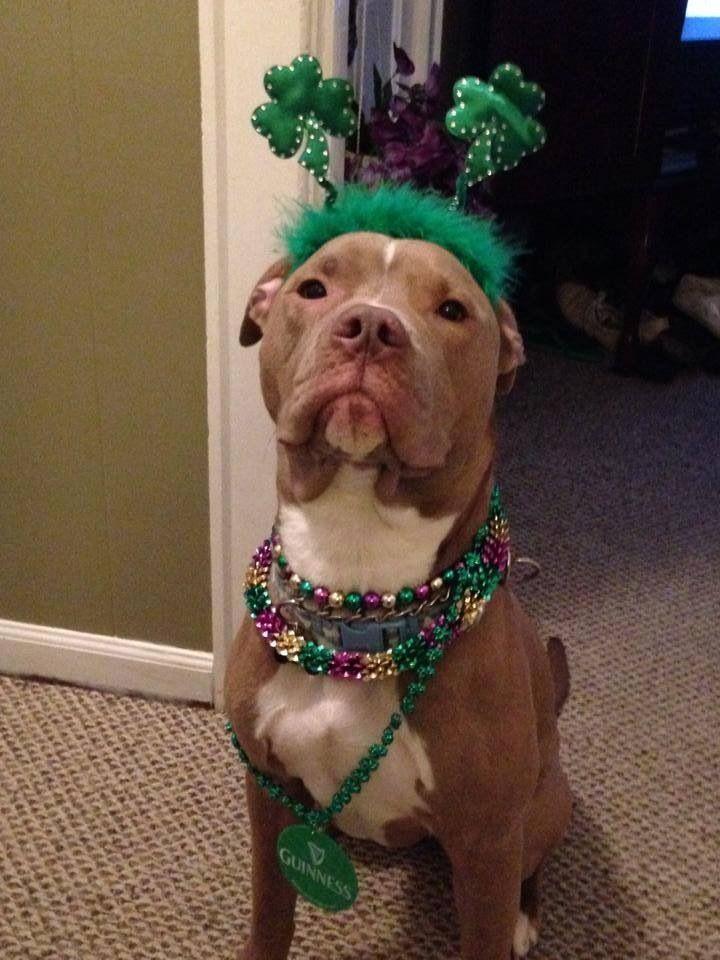 Happy St Patricks Day Cute Animals Pitbull Puppies Pet Adoption