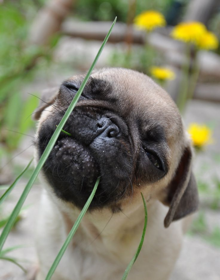 Pug Life Pug Dog Pug For Life Go Pug Yourself Pugtastic
