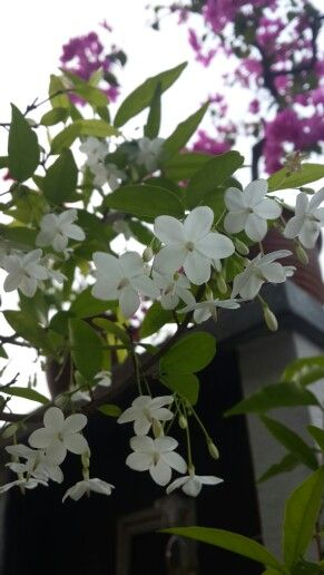 Pin By Er Ali On Flora Fragrant Plant Flowers Plants