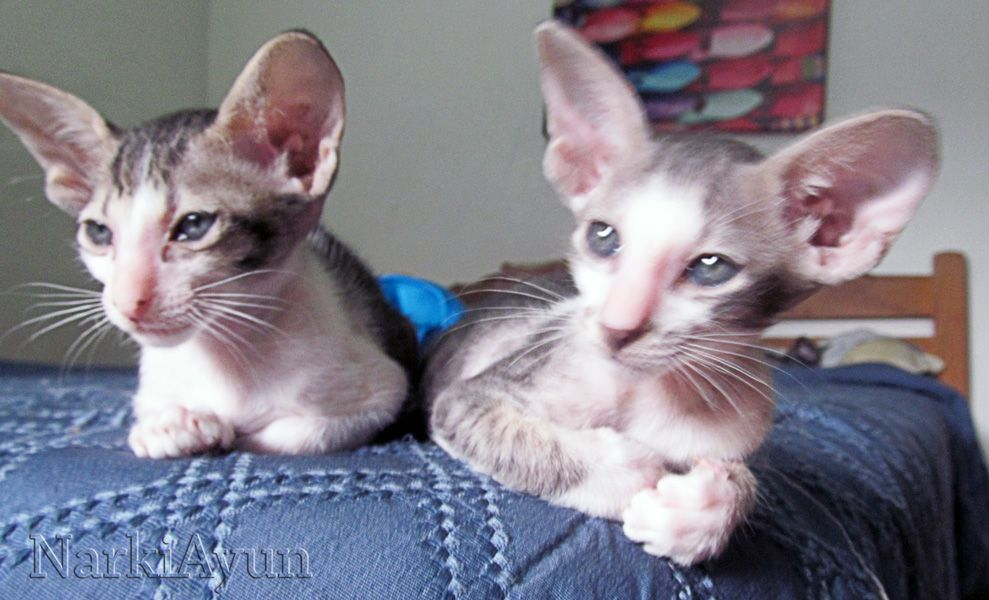 On The Left Narkiayun Orinoco Black Spotted Tabby White Oriental Shorthair On The Right Narkiayun Urubamba Cats And Kittens Oriental Shorthair Oriental Cat