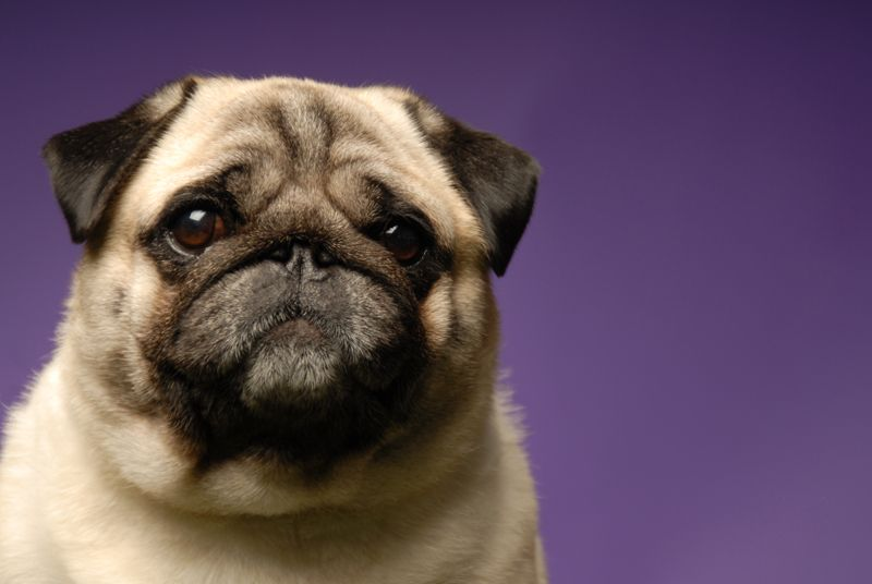 Pug Dog Photography By Ted Prescott On The Spot Studios Dog