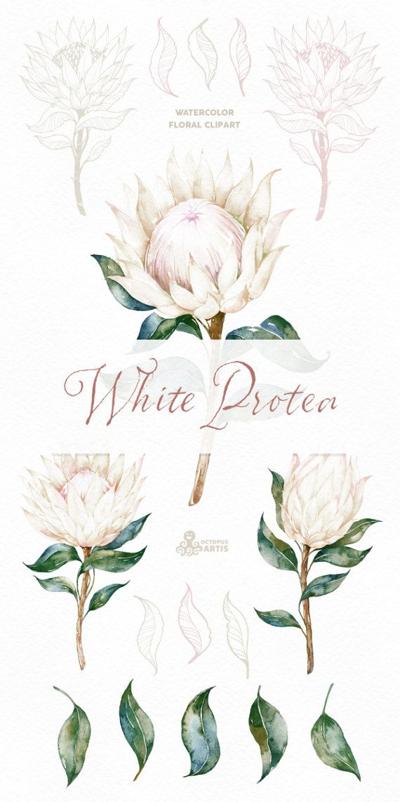 The Floral Set Of White King Protea Includes High Quality Hand Painted Flowers Leaves And Frame Perfect Gr Protea Art Framed Botanical Art Watercolor Flowers