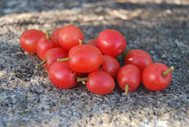 Indigenous Fruits Of Zimbabwe