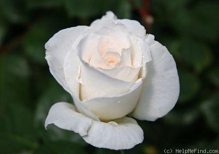 'Margaret Merril ' Rose Photo, shade tolerant per Heirloom roses list. Heat tolerant per HMF members, fragrant too.