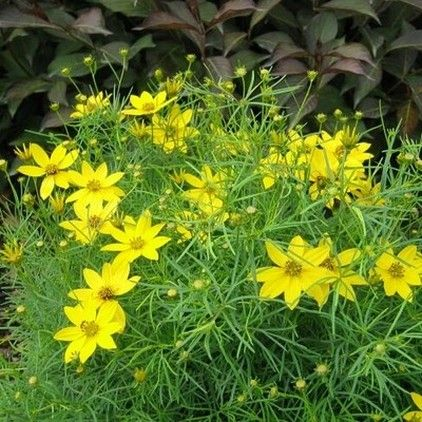 Coreopsis Verticillata Zagreb Zagreb Coreopsis Upright Spreading Plant Less Than 1 Incn With Masses Of Showy Golden Yellow Flowers Plants Perennials Shrubs