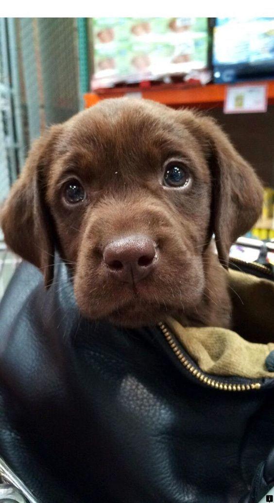 Photo of Labrador Puppy 🐾