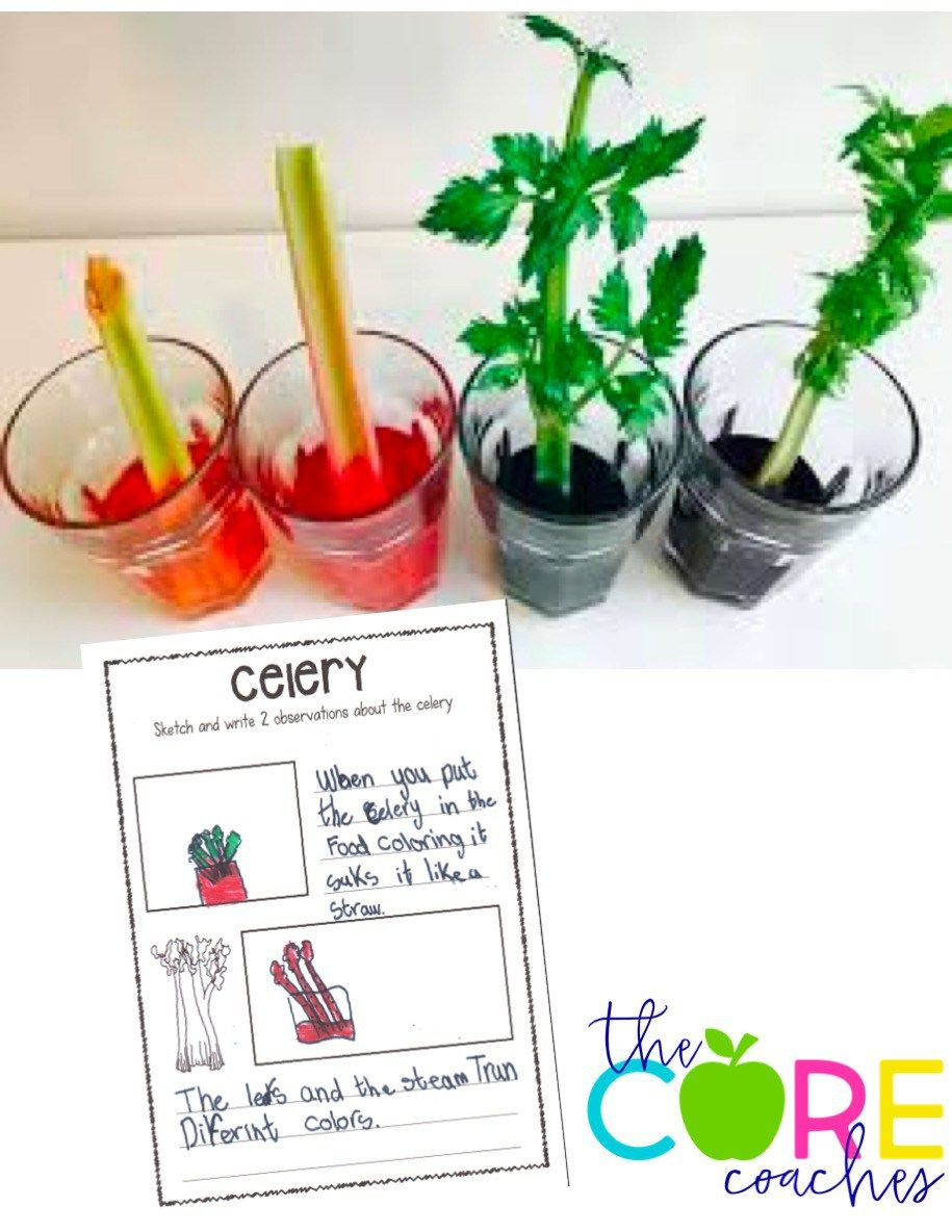small resolution of Colored Celery Experiment and Writing Prompt   Cooperative learning
