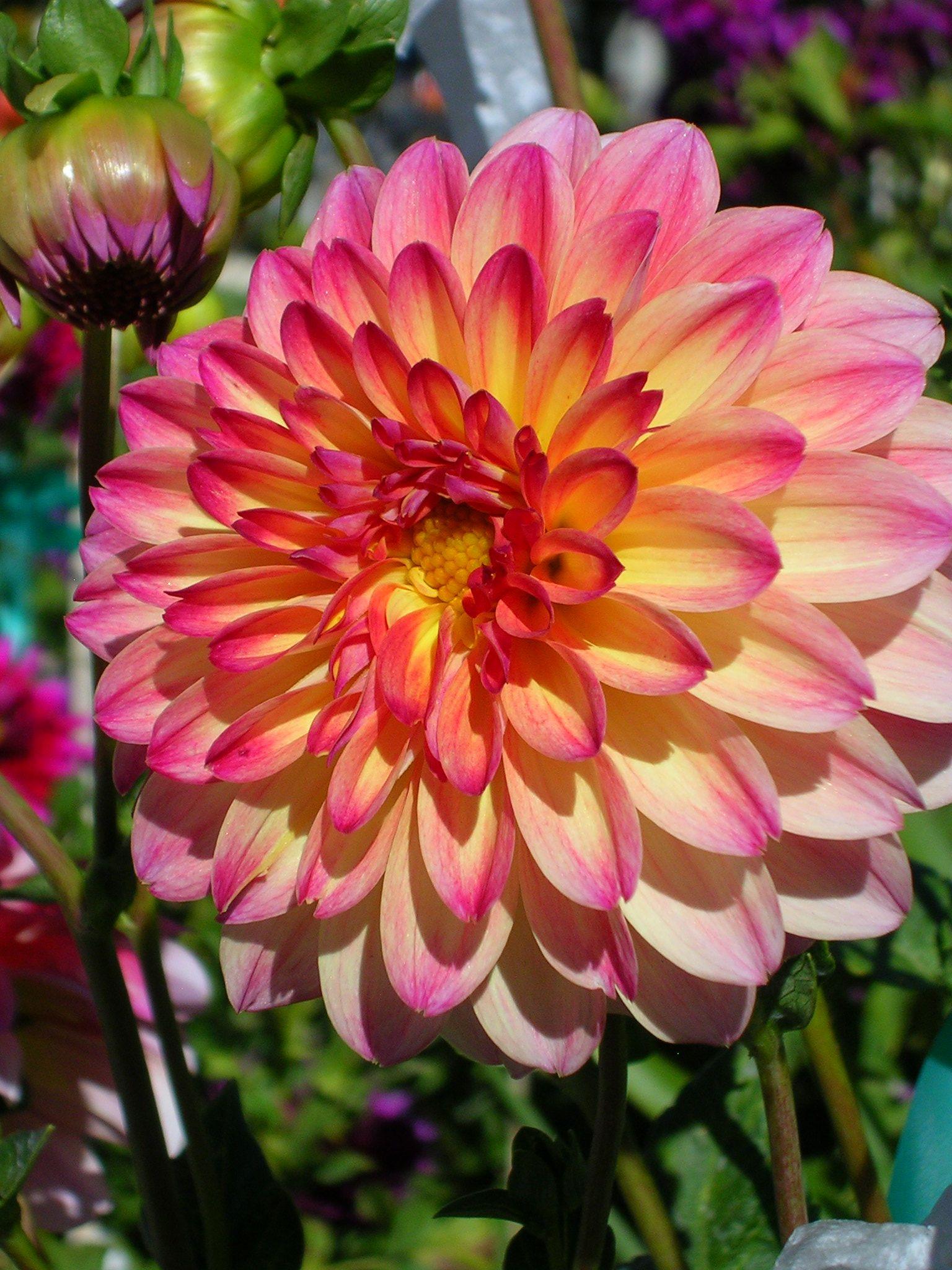 Dahlia september morn flowers flowers and more beautiful dahlia september morn izmirmasajfo