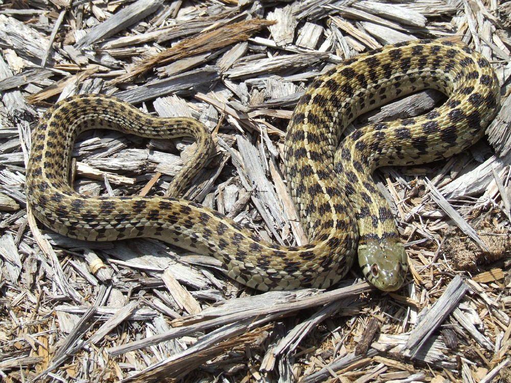 Checkered Garter Snake | Texas Snakes | Texas snakes, Snake