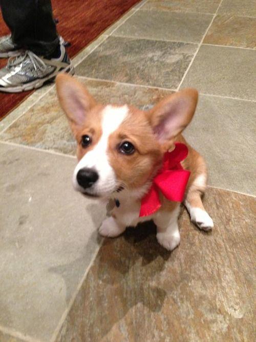 Corgi Present Submitted By Katienn Corgi Puppies Cute Animals