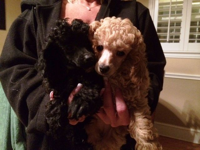 We Have 6 Precious Pure Bred Toy Poodle Puppies For Adoption 2