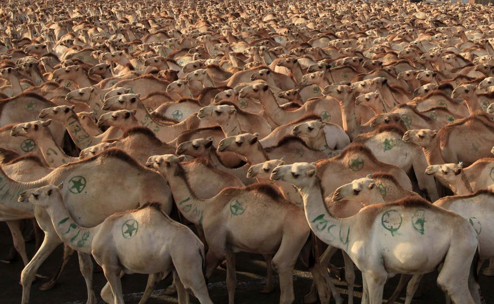 A Fascinating Glimpse of Daily Life in Mogadishu Camels