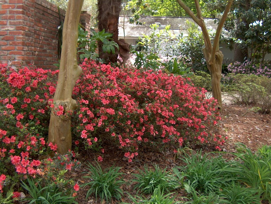 Pin By Ashley Gervais On Sweet Home Azaleas Landscaping Shade Garden Plants Garden Shrubs