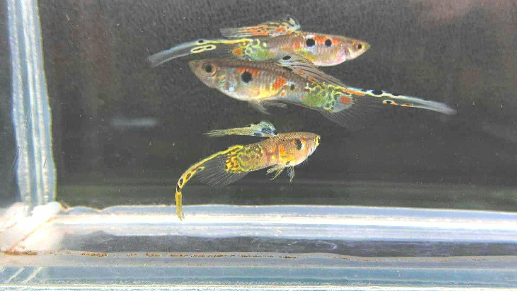 Pin by Abbas on Guppy's and family Guppy, Fish pet
