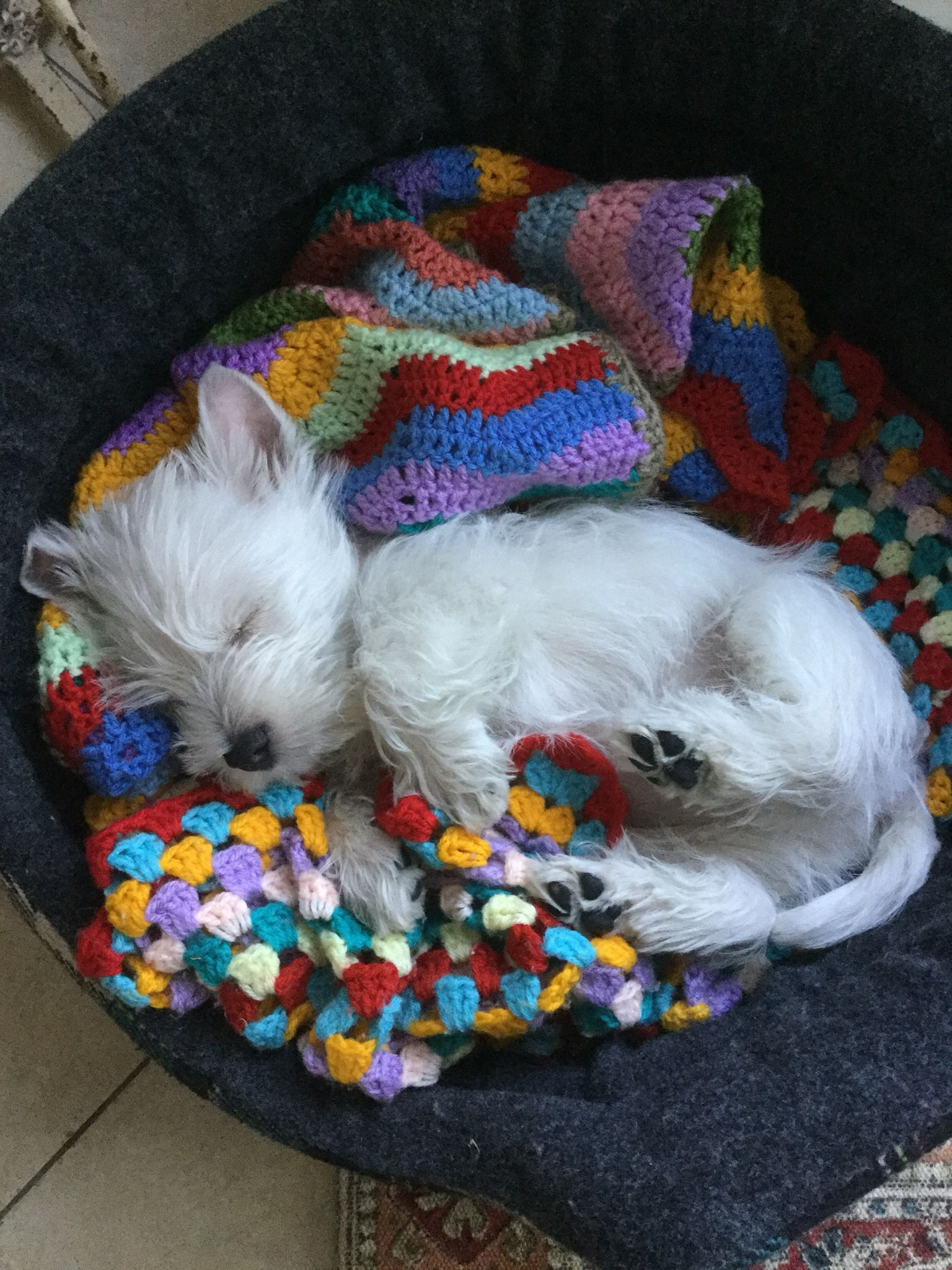 Bertie exhausted after a big day! Westie puppies, Westie
