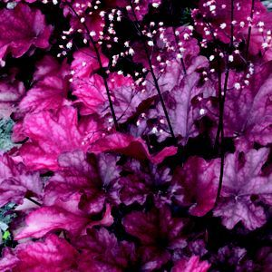 Coral Flower Fire Chief Homebase Coral Flowers Purple Plants Flowers