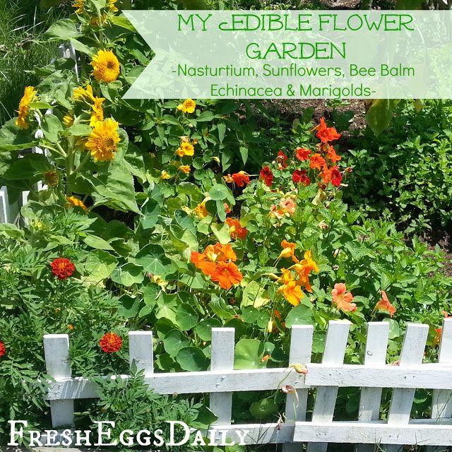 fresh eggs daily chicken herb and edible flower garden video tour