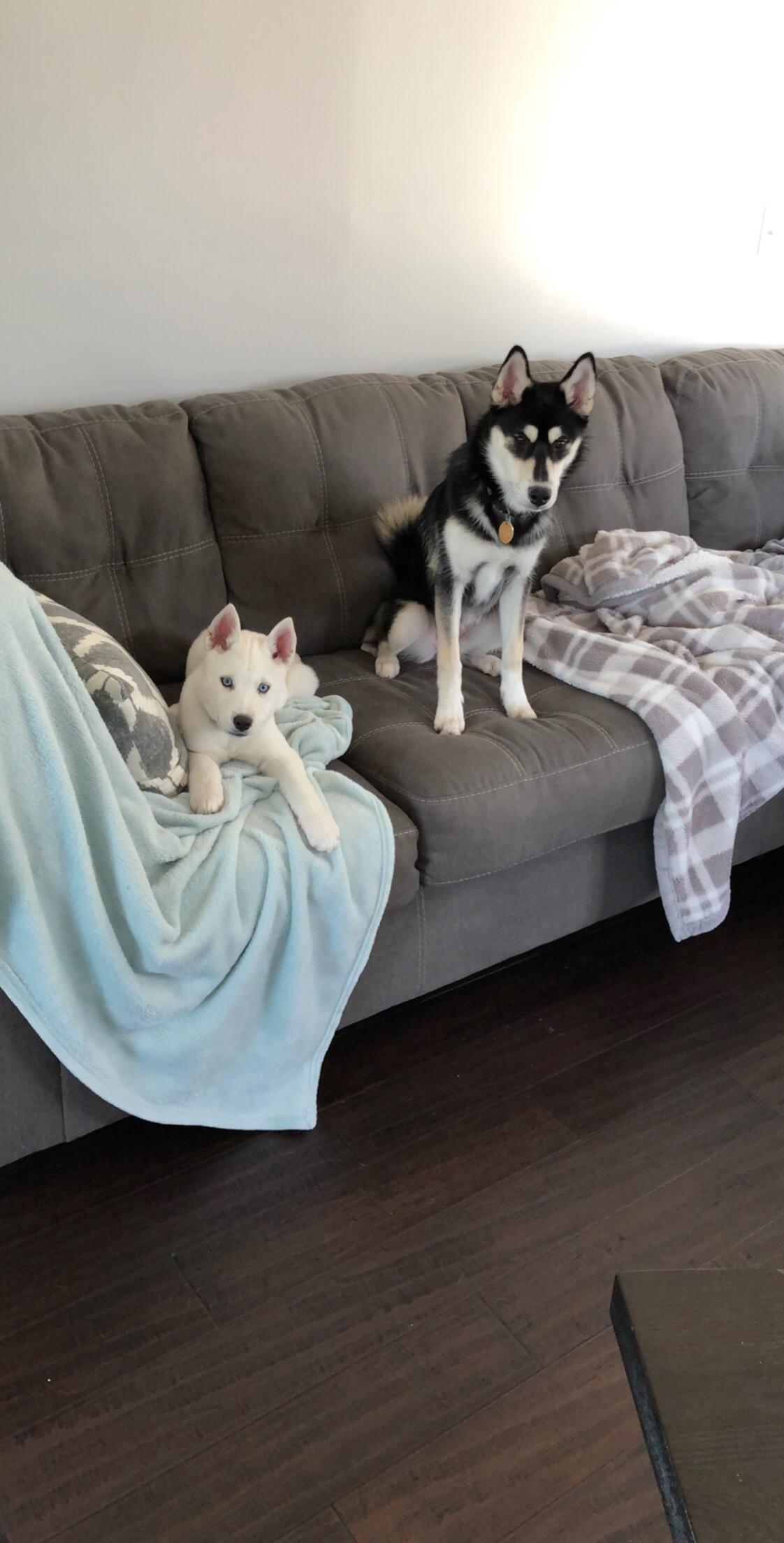 My Best Pals Husky Puppy Siberian Husky Puppies Husky