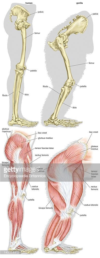 Skeletal And Muscular Structures Of A Human\'S Leg And A Gorilla\'S ...