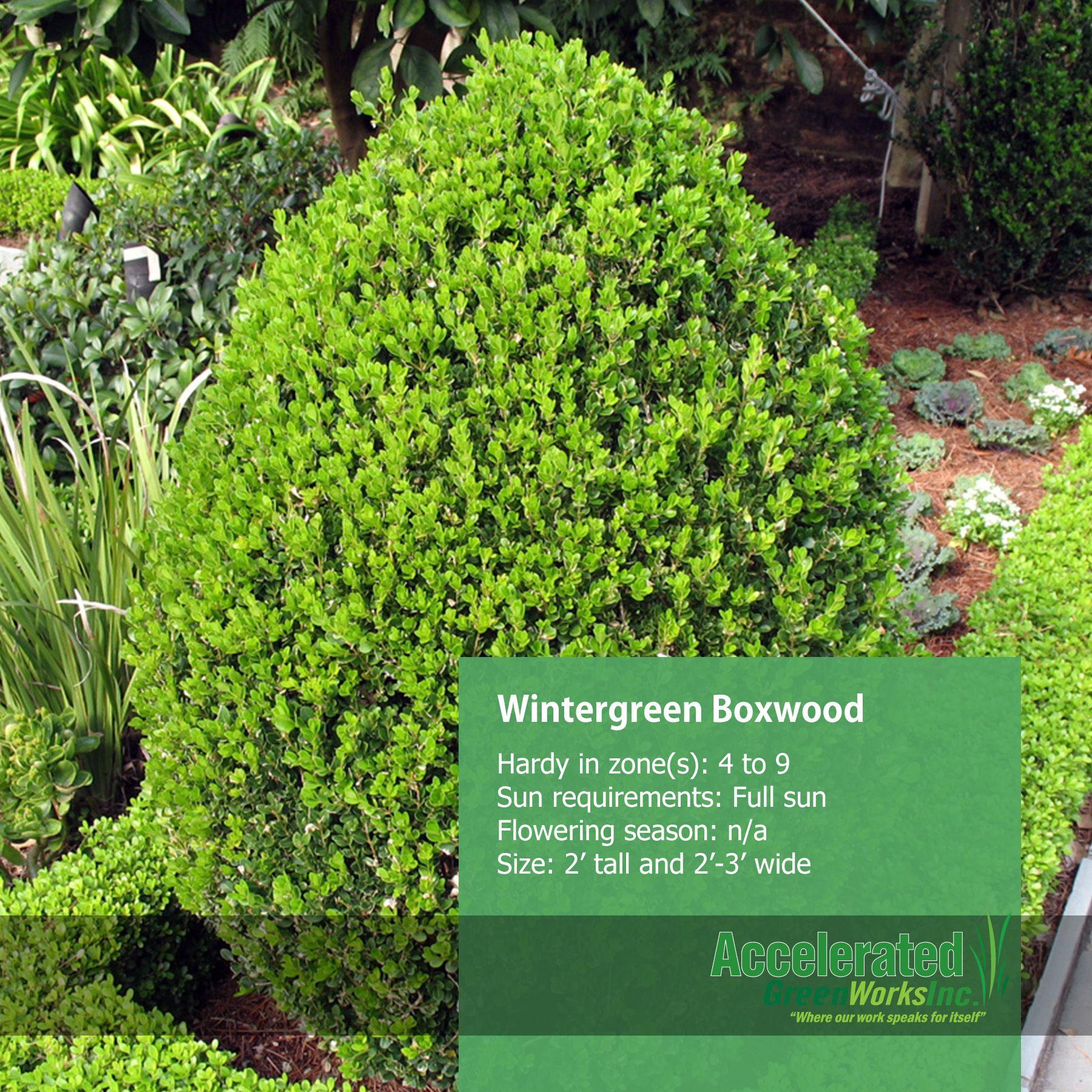 Wintergreen Littleleaf Boxwood | Shrubs | Pinterest ...