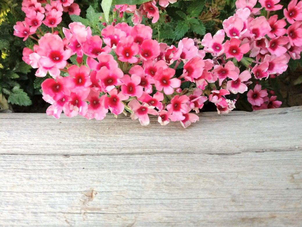Una Planta Llamada Verbena De Color Rosa Flores Imagenes De