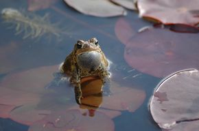 Attract Frogs | Ponds backyard, Pond, Garden frogs