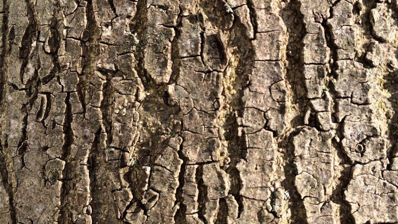 Narrow Leaved Ash (Fraxinus angustifolia) - bark close up - February ...