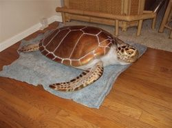 """Show your love for sea turtles by decorating with this beautiful life size 48"""" Green Turtle replica.  Can be hung on a wall or placed on ground, or hung from the ceiling.  http://www.mountthis.net/48-Green-Turtle-Full-Mount-Fish-Replica-p/turtle_green48_30day.htm"""