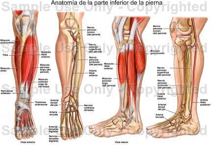 VENAS Y ARTERIAS PIERNA | Re-presents - Anatomical Study | Pinterest ...