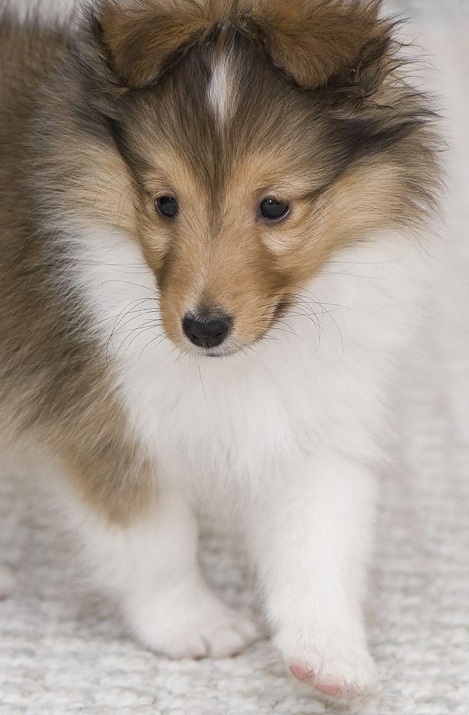 Dillon Shetland Sheepdog Shetland Sheepdog Puppies Sheltie