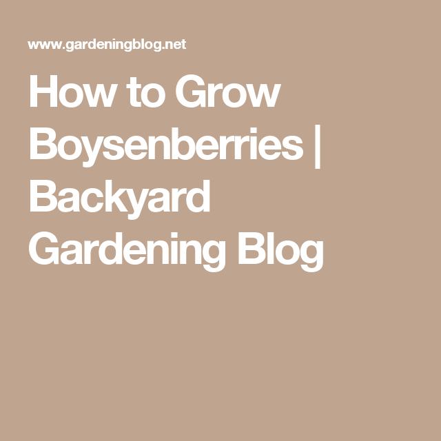 How To Grow Boysenberries | Backyard Gardening Blog