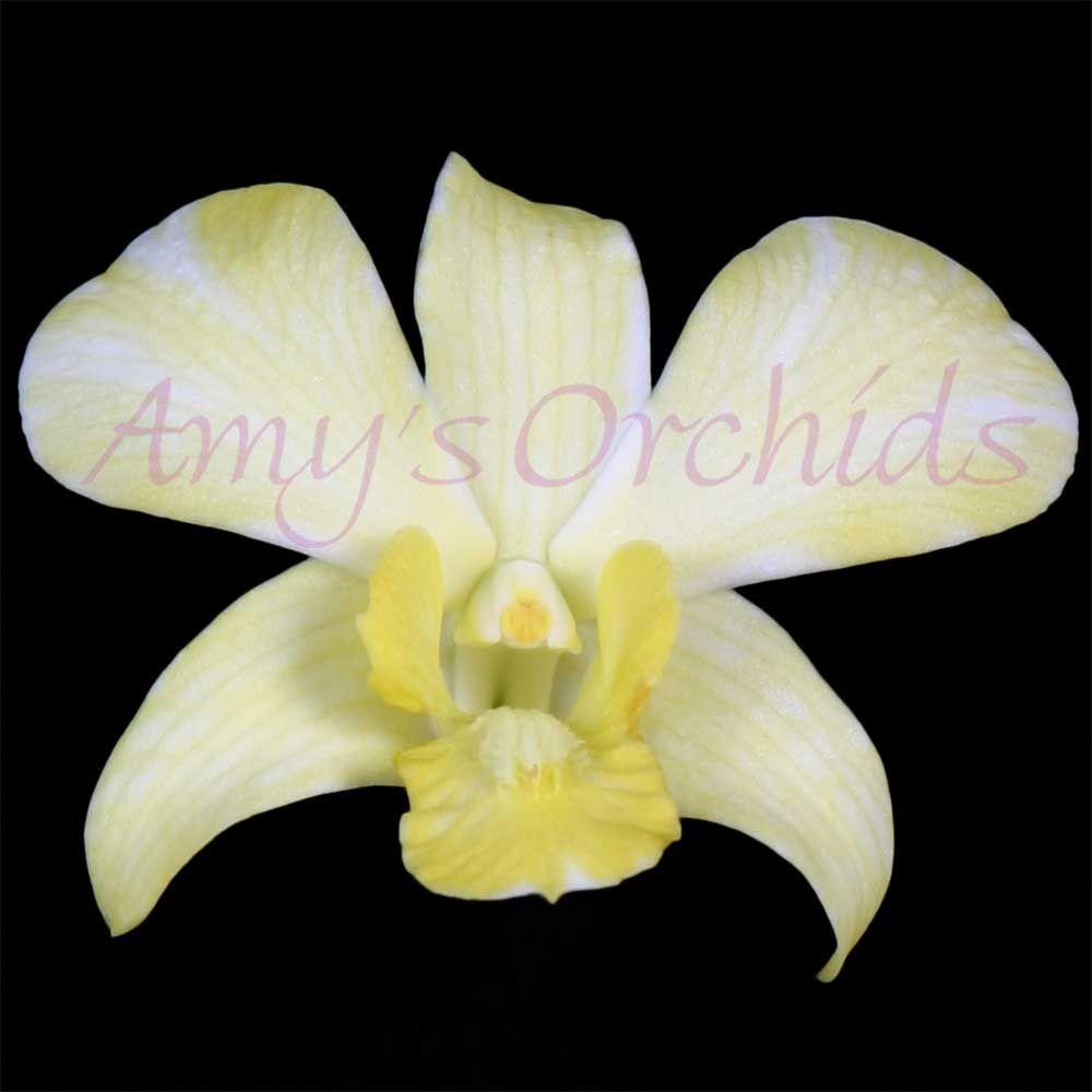 Dendrobiumwhitedyedyellow orchids pinterest flowers and gardens