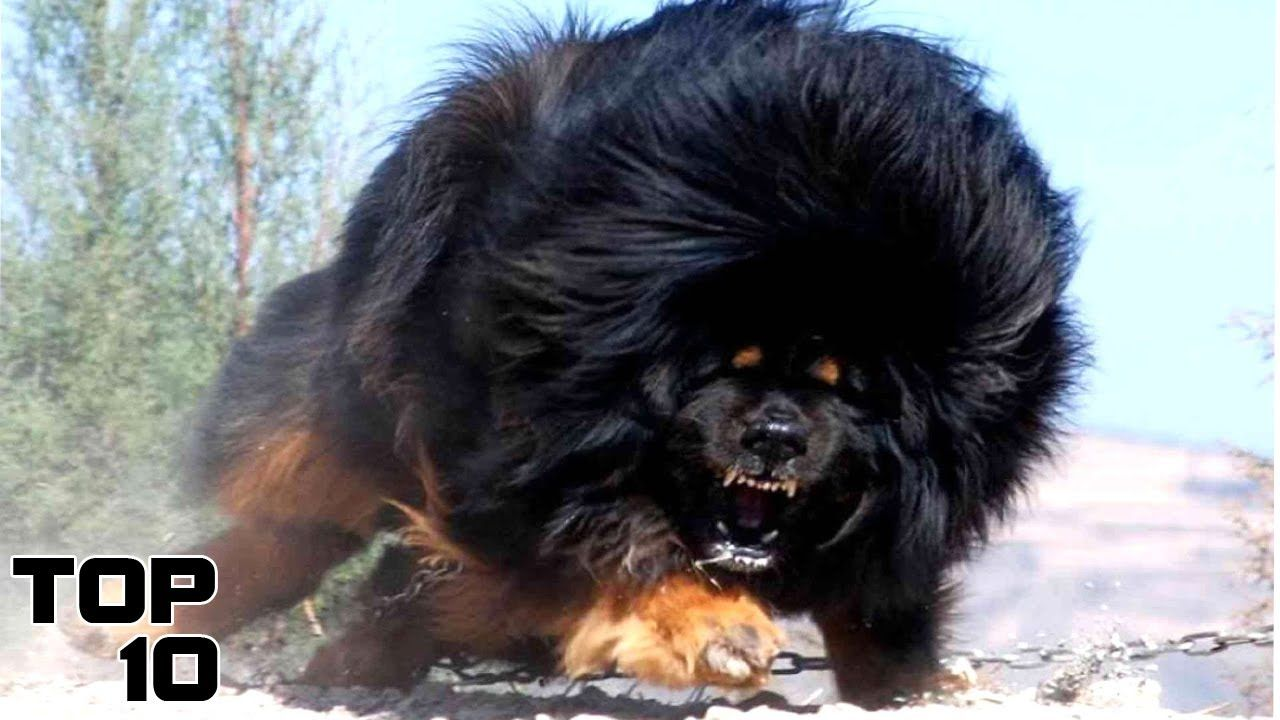 Displaying images for vicious dog breeds list - Top 10 Most Dangerous Dog Breeds