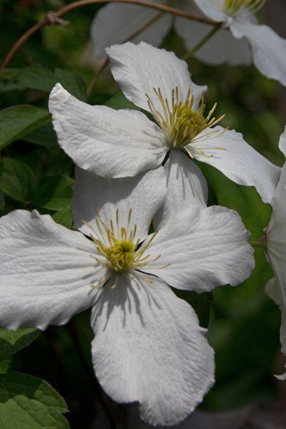 Af Jytte Boch. Clematis montana 'Spoonerii' blomstrer i maj-juni. Bliver 6-8 m og dufter fint. Tilhører gruppe 1.