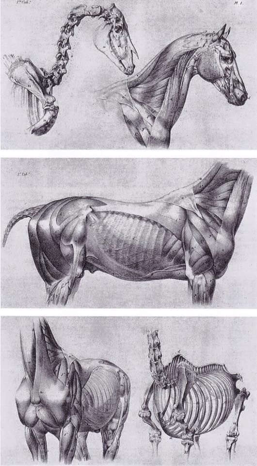 4 Pintores Sketching Pinterest Anatomy Animal Anatomy And Horse
