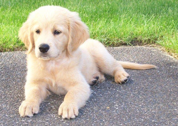 Mini golden retriever puppies ohio