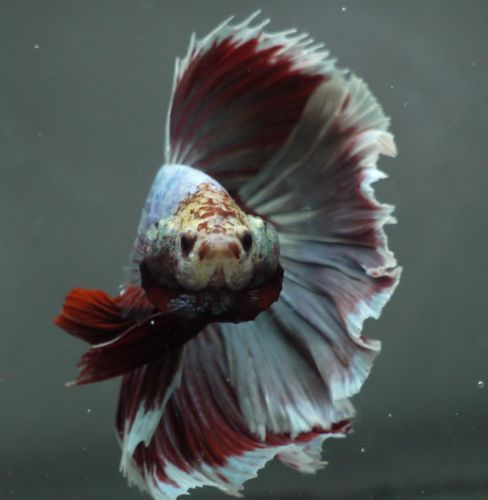 Betta Tropical Fish | Pin By Marianne Sans On Beautiful Betta Fish Pinterest Betta