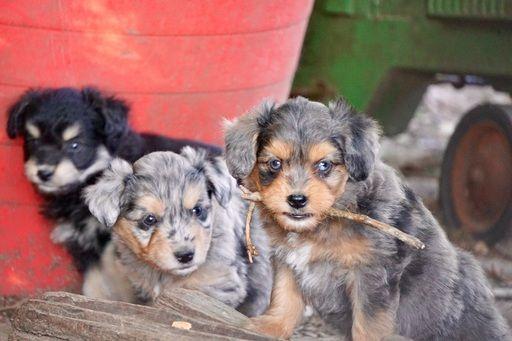 Australian Cattle Dog Poodle Miniature Mix Puppy For Sale In Coalgate Ok Adn 31130 On Puppyfinder Com Ge Cattle Dog Australian Cattle Dog Miniature Puppies