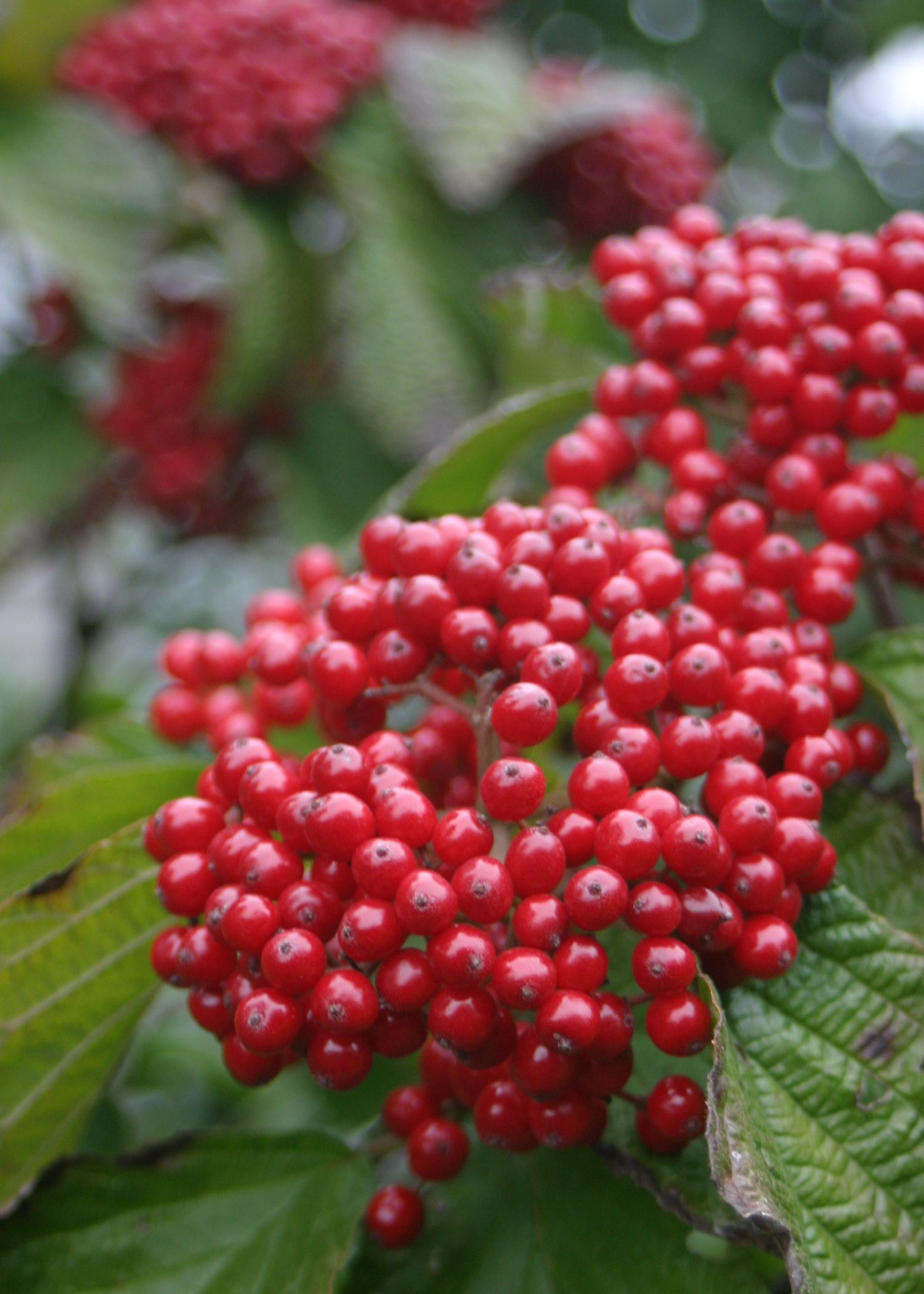 cardinal candy viburnum dilatatum shrub proven winners and
