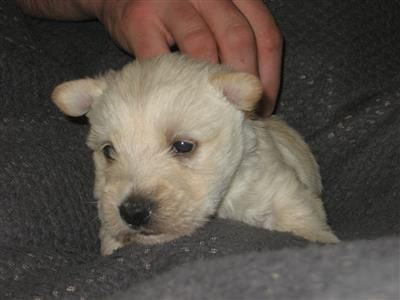 Akc Scottish Terrier Puppies Oregonlivecom Images Pinterest