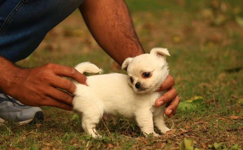 Most Beautiful Chihuahuas In 2020 Chihuahua Breeders Chihuahua
